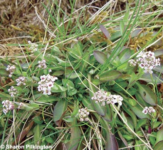 Alpine Pennycress, a rare plant tolerant of high lead levels.
