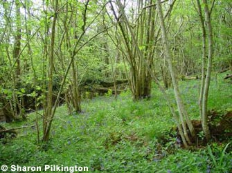 Ash woodland with an understory of coppiced Hazel, with a rich and attractive ground flora, including Bluebells, Ramsons and Dog's Mercury, Rodney Stoke Woods.