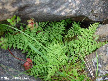 Brittle Bladder Fern