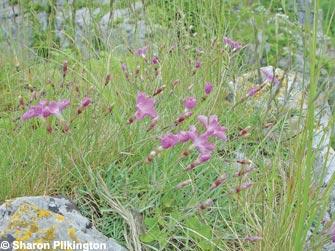 Cheddar Pinks (Dianthus gratianopolitanus)