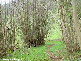 Coppice stools of Small leaved lime Tilia cordata, Big Stoke Wood, Rodney Stoke. Photo. Sharon Pilkington.