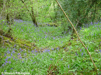 Bluebells in Harridge Wood
