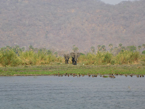 Small herd of elephants on the bank of the River Shire, Liwonde National Park.