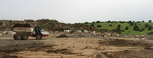 The cows at Pianciano carbonatite and phosphate deposit. Photo courtesy of Alex Speiser.